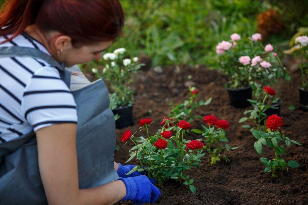 Nainen istuttaa ruusuja suojakäsineet kädessään.